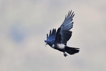 Black Baza bird flying