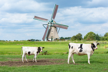 Cows in front of the historical Akkersloot windmill