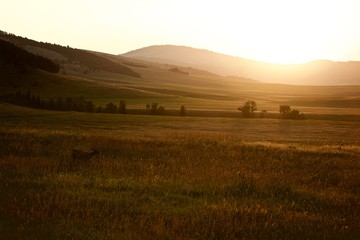 Young Buck Grazing in Field at Sunset in Montana
