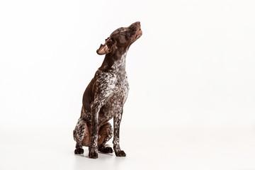 German Shorthaired Pointer - Kurzhaar puppy dog isolated on white studio background