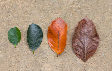 Different color and age of leaves of the jackfruit tree leaves from fresh green to dry brown on wall texture background.