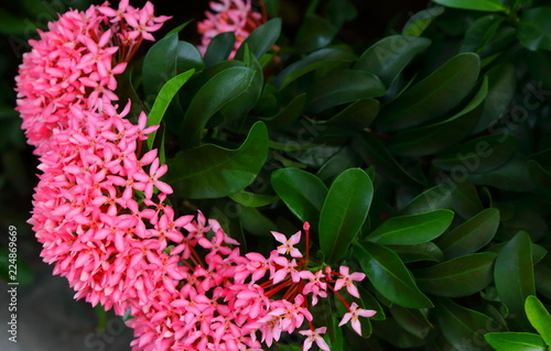 Closeup picture of pink spike flowers or ixora stock photo and closeup picture of pink spike flowers or ixora mightylinksfo