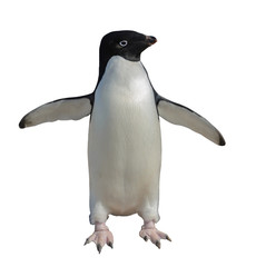 Adelie penguin isolated on white background