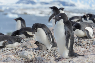 Adelie penguin in nest with chick