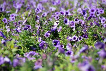 purple Flowers curitiba brasil paraná