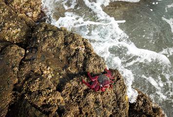 Ostatlantische rote Felsenkrabbe
