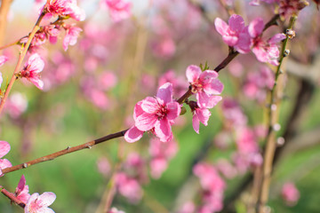Spring flowering trees in orchard