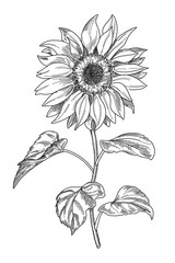 Sketch pen and ink vintage sunflower illustration, draft silhouette drawing, black isolated on white background. Botanical graphic etching design.