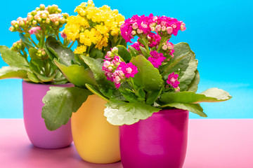 Three colors pots with thee colors medical houseplants kalanchoe with flowers close up on trendy pink and blue background, bright colors concept