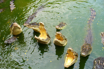 Crocodiles with open mouth in the water.