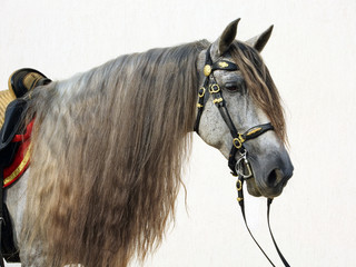 Pure Spanish saddle breed horse or PRE, portrait against light background