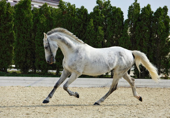 Andalusian horse galloping near the stable at the rest