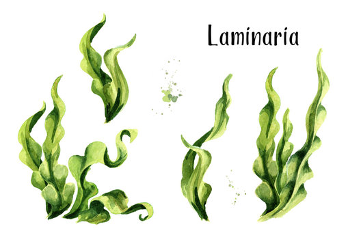 Laminaria seaweed, sea kale. Algae composition set. Superfood. Watercolor hand drawn illustration, isolated on white background