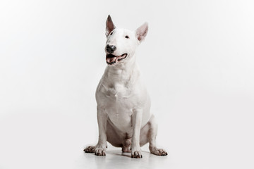 Bull Terrier type Dog on white studio background