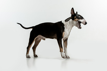 Bull Terrier type Dog on white studio background