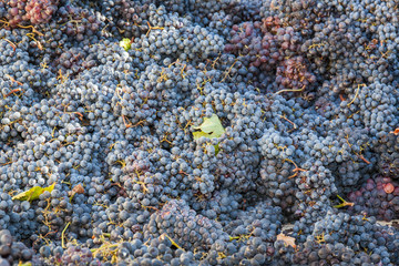 Grape harvest: Bunches of red grapes, high view