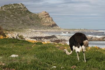 Struzzo che mangia sulla costa del Sudafrica