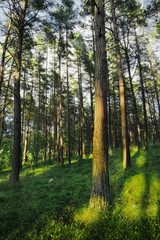 Evergreen coniferous pine forest. Pinewood with Scots or Scotch pine Pinus sylvestris trees growing in Pomerania, Poland.