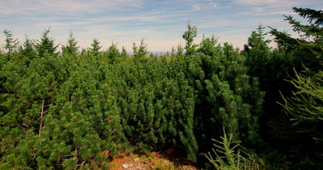Fototapeta Kosodrzewina rosnąca w Sudetach, małe karłowate iglaste drzewa górskie obraz