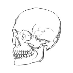 Vector engraved style illustration for posters, decoration and print. Hand drawn sketch of human skull in black isolated on white background. Detailed vintage etching style drawing.