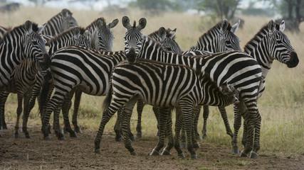 Plains zebras (Equus quagga) under the rain, Seronera, Serengeti National Park, Tanzania, East Africa, Africa