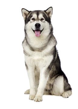 Malamute dog looking
