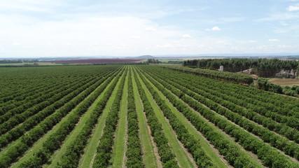 aerial photo of orange orchard