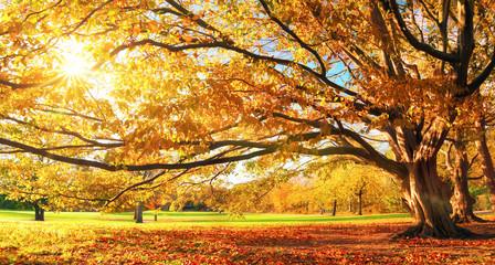 Wall Mural - Herbst im Park, großer Baum, Panorama