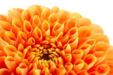 Aster flower head closeup