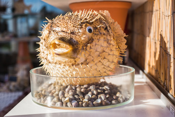 Blowfish or puffer fish in Souvenir shop. Porcupine Fish