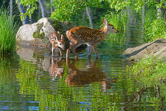 Two baby White Tailed Deer Fawns drinking from clear water.