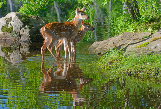 Two baby White Tailed Deer wade in clear water.