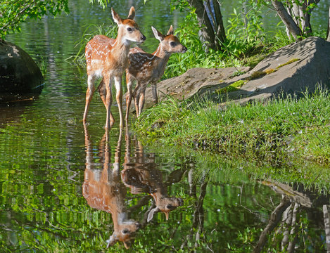 Two baby deer wading in clear water.