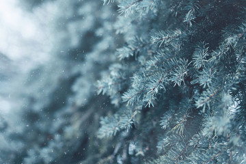 Snow-covered tree pine branch flying snowflakes closeup, frozen winter background