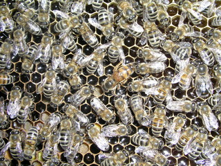 Mistress bee colonies. Queen bee is larger than worker bee. Queen bee surrounded by her workers. Bees inside beehive with queen bee in middle. Errors in the breeding of queen bees.
