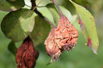 Brown fruit rot of pear caused by Monilia ascomycete fungus