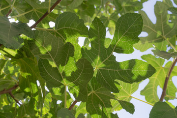 Green Leaves of a Fig Tree