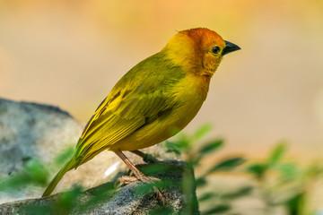 Yellow Green Weaver Bird