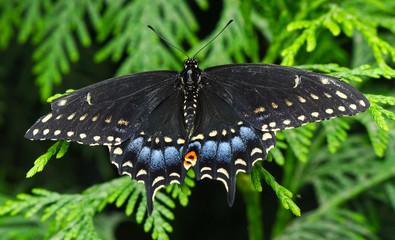 Back Swallowtail Butterfly Seattle Washington