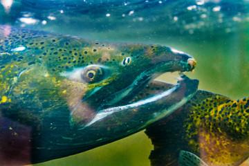 Chinook Coho Salmon Close Up Issaquah Hatchery Washington State