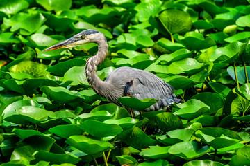 Great Blue Heron Juanita Bay Park Lake Washington Kirkland Washiington