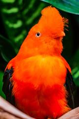 Orange Andean Cock of the Rock Bird