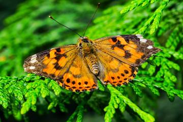 Painted Lady Butterfly Seattle Washington