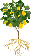 Young flowering lemon tree with ripe fruits and root system on white background