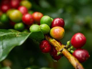 coffee green natural