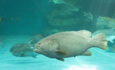 Giant grouper under water in aquarium