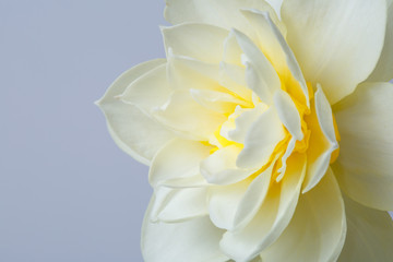 Delicate daffodil flower isolated on a gray background.