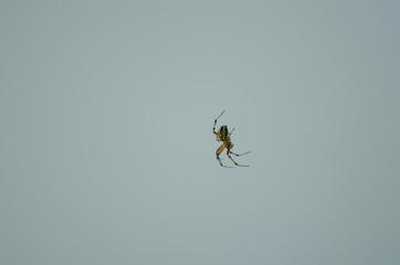 Spider . Macro photo of garden spider on  over natural background in Turkey.
