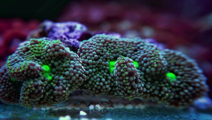 Ricordea mushroom is one of the most beautiful mushroom corals in the aquatic world