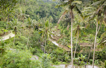 Valley view at Gunung Kawi, Bali showing rice paddy terraces and palm trees.